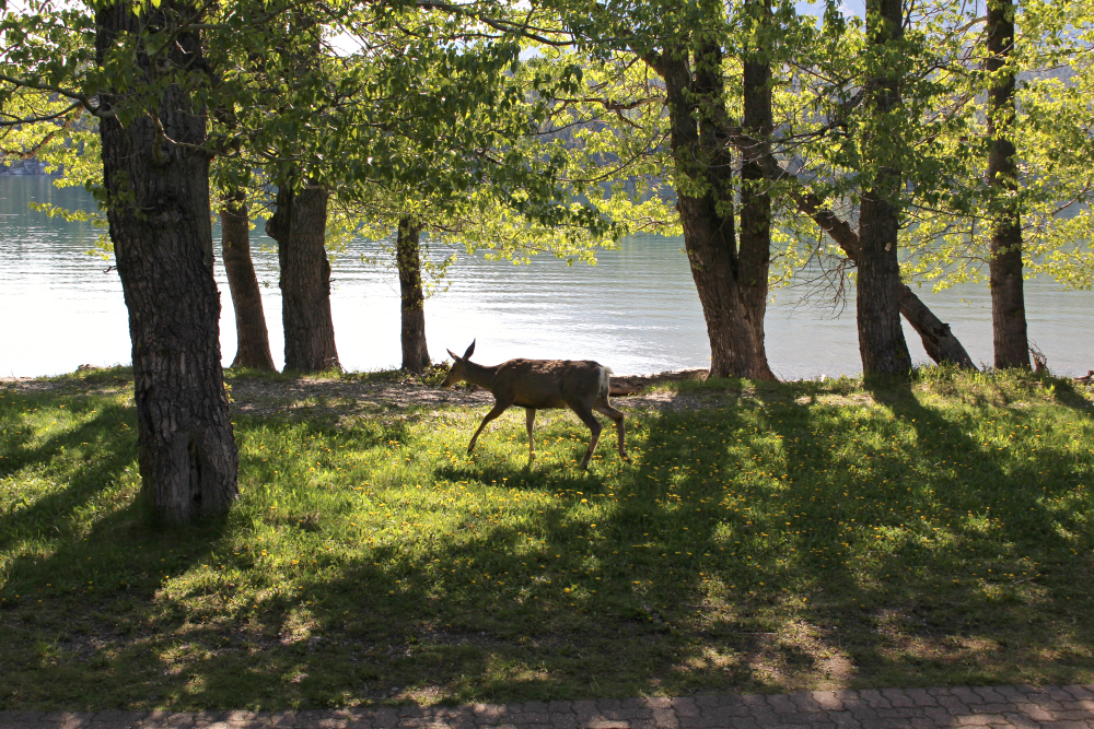 Waterton deer 2